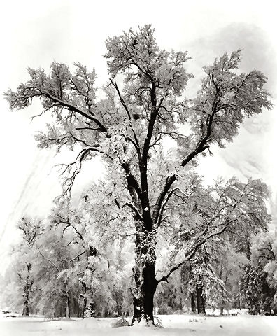 Oak tree snow storm