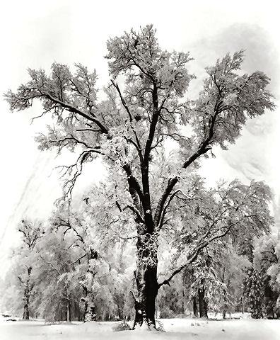 Oak tree snow storm